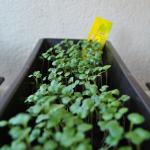 ridichi in jardiniera